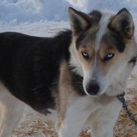 Seppala Siberian Sleddog Ausführliche Rassebeschreibung, Fotos, Intelligenz, Hundenamen, Hypoallergene: nein