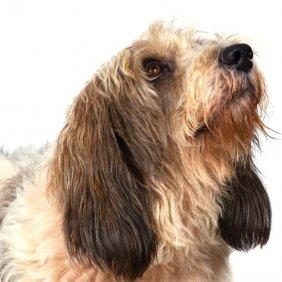 Petit Basset Griffon Vendéen Ausführliche Rassebeschreibung, Fotos, Intelligenz, Hundenamen, Hypoallergene: nein