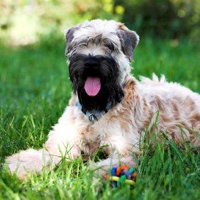 Irish Soft Coated Wheaten Terrier Ausführliche Rassebeschreibung, Fotos, Intelligenz, Hundenamen, Hypoallergene: ja