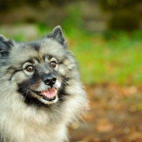 Wolfsspitz Ausführliche Rassebeschreibung, Fotos, Intelligenz, Hundenamen, Hypoallergene: nein