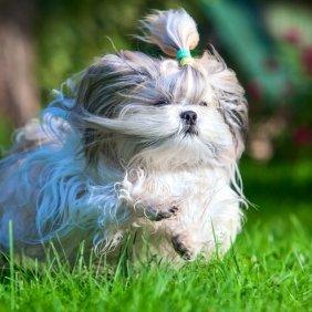 Shih Tzu Ausführliche Rassebeschreibung, Fotos, Intelligenz, Hundenamen, Hypoallergene: ja