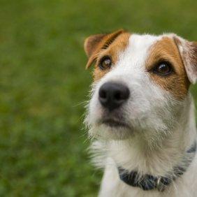 Parson Russell Terrier Ausführliche Rassebeschreibung, Fotos, Intelligenz, Hundenamen, Hypoallergene: nein
