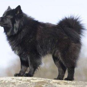 Schwedischer Lapphund Ausführliche Rassebeschreibung, Fotos, Intelligenz, Hundenamen, Hypoallergene: nein
