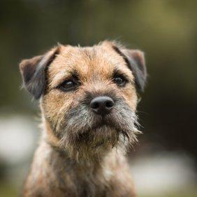 Border Terrier Ausführliche Rassebeschreibung, Fotos, Intelligenz, Hundenamen, Hypoallergene: ja