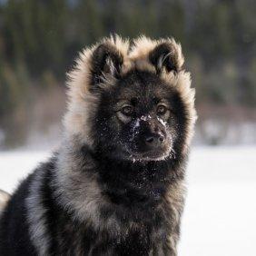 Eurasier Ausführliche Rassebeschreibung, Fotos, Intelligenz, Hundenamen, Hypoallergene: nein