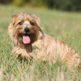 Norfolk Terrier Ausführliche Rassebeschreibung, Fotos, Intelligenz, Hundenamen, Hypoallergene: ja