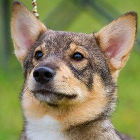 Västgötaspets Ausführliche Rassebeschreibung, Fotos, Intelligenz, Hundenamen, Hypoallergene: nein