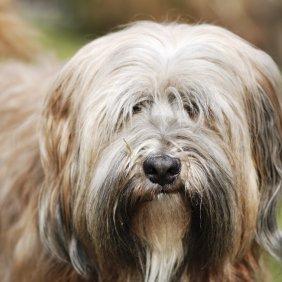 Tibet-Terrier Ausführliche Rassebeschreibung, Fotos, Intelligenz, Hundenamen, Hypoallergene: ja