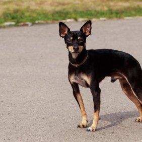 English Toy Terrier Ausführliche Rassebeschreibung, Fotos, Intelligenz, Hundenamen, Hypoallergene: nein