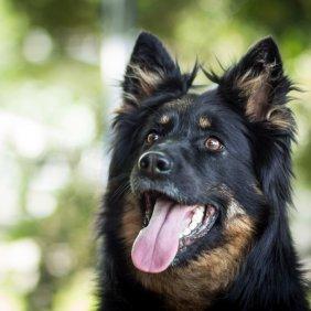 Chodský pes Ausführliche Rassebeschreibung, Fotos, Intelligenz, Hundenamen, Hypoallergene: nein