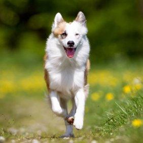 Islandhund Ausführliche Rassebeschreibung, Fotos, Intelligenz, Hundenamen, Hypoallergene: nein