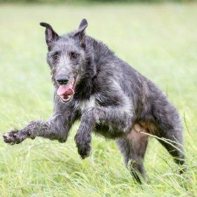 Deerhound Ausführliche Rassebeschreibung, Fotos, Intelligenz, Hundenamen, Hypoallergene: nein