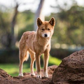 Dingo Ausführliche Rassebeschreibung, Fotos, Intelligenz, Hundenamen, Hypoallergene: nein