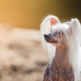 Chinesischer Schopfhund Ausführliche Rassebeschreibung, Fotos, Intelligenz, Hundenamen, Hypoallergene: ja