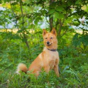 Karelischer Bärenhund Ausführliche Rassebeschreibung, Fotos, Intelligenz, Hundenamen, Hypoallergene: nein