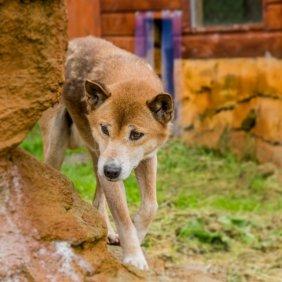 Neuguinea-Dingo Ausführliche Rassebeschreibung, Fotos, Intelligenz, Hundenamen, Hypoallergene: nein