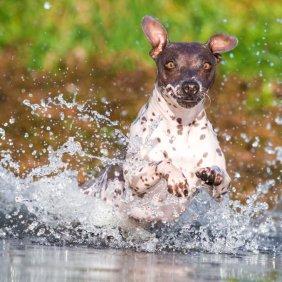 American Hairless Terrier Ausführliche Rassebeschreibung, Fotos, Intelligenz, Hundenamen, Hypoallergene: nein