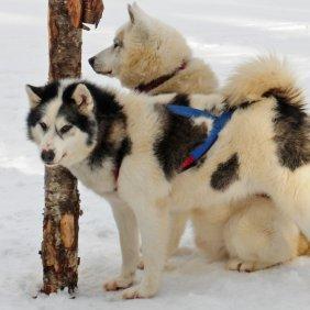 Kanadischer Eskimohund Ausführliche Rassebeschreibung, Fotos, Intelligenz, Hundenamen, Hypoallergene: nein