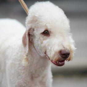 Bedlington Terrier Ausführliche Rassebeschreibung, Fotos, Intelligenz, Hundenamen, Hypoallergene: ja