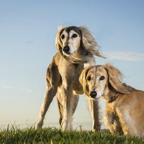 Saluki Ausführliche Rassebeschreibung, Fotos, Intelligenz, Hundenamen, Hypoallergene: nein