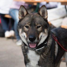 Shikoku Ausführliche Rassebeschreibung, Fotos, Intelligenz, Hundenamen, Hypoallergene: nein