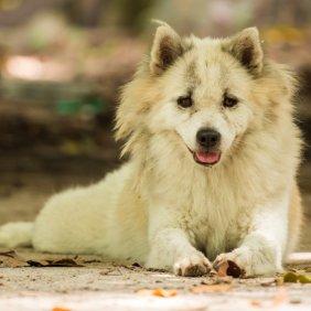 Thai Bangkaew Dog Ausführliche Rassebeschreibung, Fotos, Intelligenz, Hundenamen, Hypoallergene: nein
