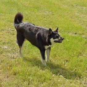 Lappländischer Rentierhund Ausführliche Rassebeschreibung, Fotos, Intelligenz, Hundenamen, Hypoallergene: nein