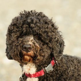 Cão de Água Português Ausführliche Rassebeschreibung, Fotos, Intelligenz, Hundenamen, Hypoallergene: ja