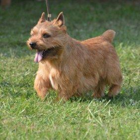 Irish Glen of Imaal Terrier Ausführliche Rassebeschreibung, Fotos, Intelligenz, Hundenamen, Hypoallergene: nein