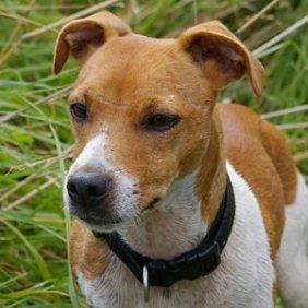 Plummer Terrier Ausführliche Rassebeschreibung, Fotos, Intelligenz, Hundenamen, Hypoallergene: nein