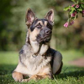 East-European Shepherd Ausführliche Rassebeschreibung, Fotos, Intelligenz, Hundenamen, Hypoallergene: nein