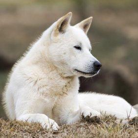 Korea Jindo Dog Ausführliche Rassebeschreibung, Fotos, Intelligenz, Hundenamen, Hypoallergene: nein