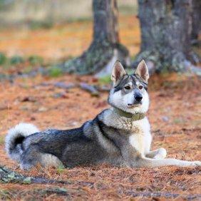 Westsibirischer Laika Ausführliche Rassebeschreibung, Fotos, Intelligenz, Hundenamen, Hypoallergene: nein