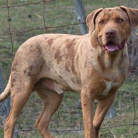 Catahoula Bulldog Ausführliche Rassebeschreibung, Fotos, Intelligenz, Hundenamen, Hypoallergene: nein