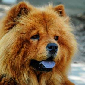 Chow-Chow Ausführliche Rassebeschreibung, Fotos, Intelligenz, Hundenamen, Hypoallergene: nein