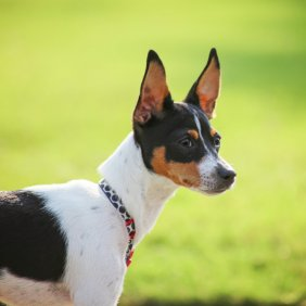Rat Terrier Ausführliche Rassebeschreibung, Fotos, Intelligenz, Hundenamen, Hypoallergene: nein