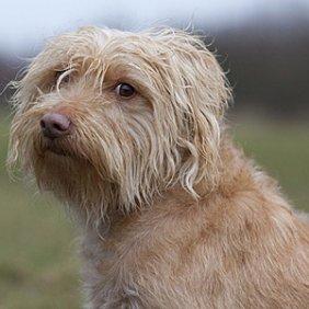Hollandse Smoushond Ausführliche Rassebeschreibung, Fotos, Intelligenz, Hundenamen, Hypoallergene: nein