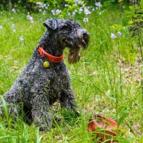 Kerry Blue Terrier Ausführliche Rassebeschreibung, Fotos, Intelligenz, Hundenamen, Hypoallergene: ja