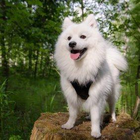 Japan Spitz Ausführliche Rassebeschreibung, Fotos, Intelligenz, Hundenamen, Hypoallergene: nein