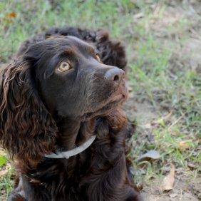 Boykin Spaniel Ausführliche Rassebeschreibung, Fotos, Intelligenz, Hundenamen, Hypoallergene: nein
