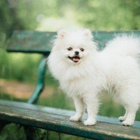 Kleinspitz Ausführliche Rassebeschreibung, Fotos, Intelligenz, Hundenamen, Hypoallergene: nein