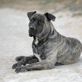Dogo Canario Ausführliche Rassebeschreibung, Fotos, Intelligenz, Hundenamen, Hypoallergene: nein