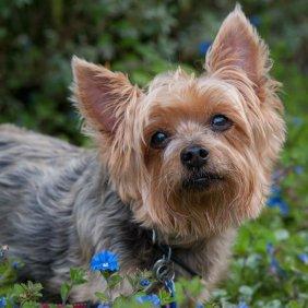 Australian Silky Terrier Ausführliche Rassebeschreibung, Fotos, Intelligenz, Hundenamen, Hypoallergene: ja