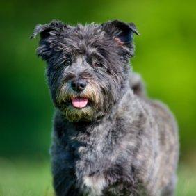 Cairn Terrier Ausführliche Rassebeschreibung, Fotos, Intelligenz, Hundenamen, Hypoallergene: ja