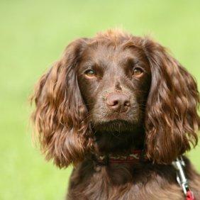 Field Spaniel Ausführliche Rassebeschreibung, Fotos, Intelligenz, Hundenamen, Hypoallergene: nein
