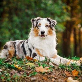 Australian Shepherd Ausführliche Rassebeschreibung, Fotos, Intelligenz, Hundenamen, Hypoallergene: nein
