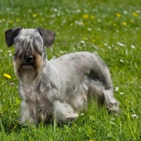 Tschechischer Terrier Ausführliche Rassebeschreibung, Fotos, Intelligenz, Hundenamen, Hypoallergene: ja
