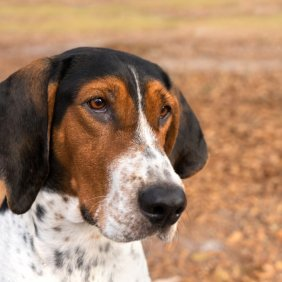 Treeing Walker Coonhound Ausführliche Rassebeschreibung, Fotos, Intelligenz, Hundenamen, Hypoallergene: nein
