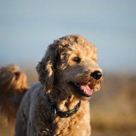 Goldendoodle Ausführliche Rassebeschreibung, Fotos, Intelligenz, Hundenamen, Hypoallergene: nein