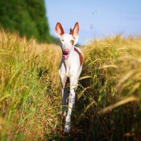 Podenco Ibicenco Ausführliche Rassebeschreibung, Fotos, Intelligenz, Hundenamen, Hypoallergene: nein